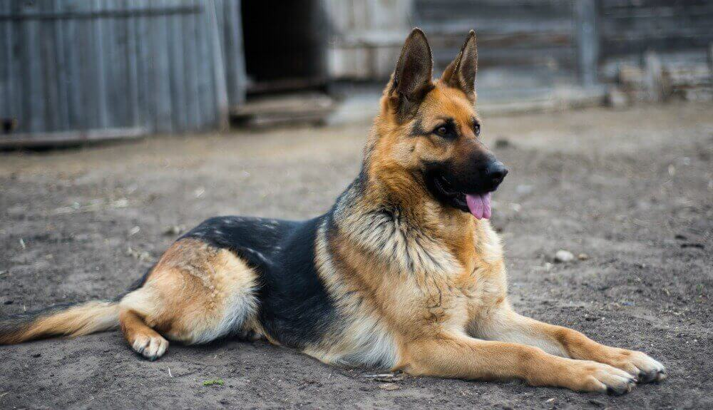 Canine Security